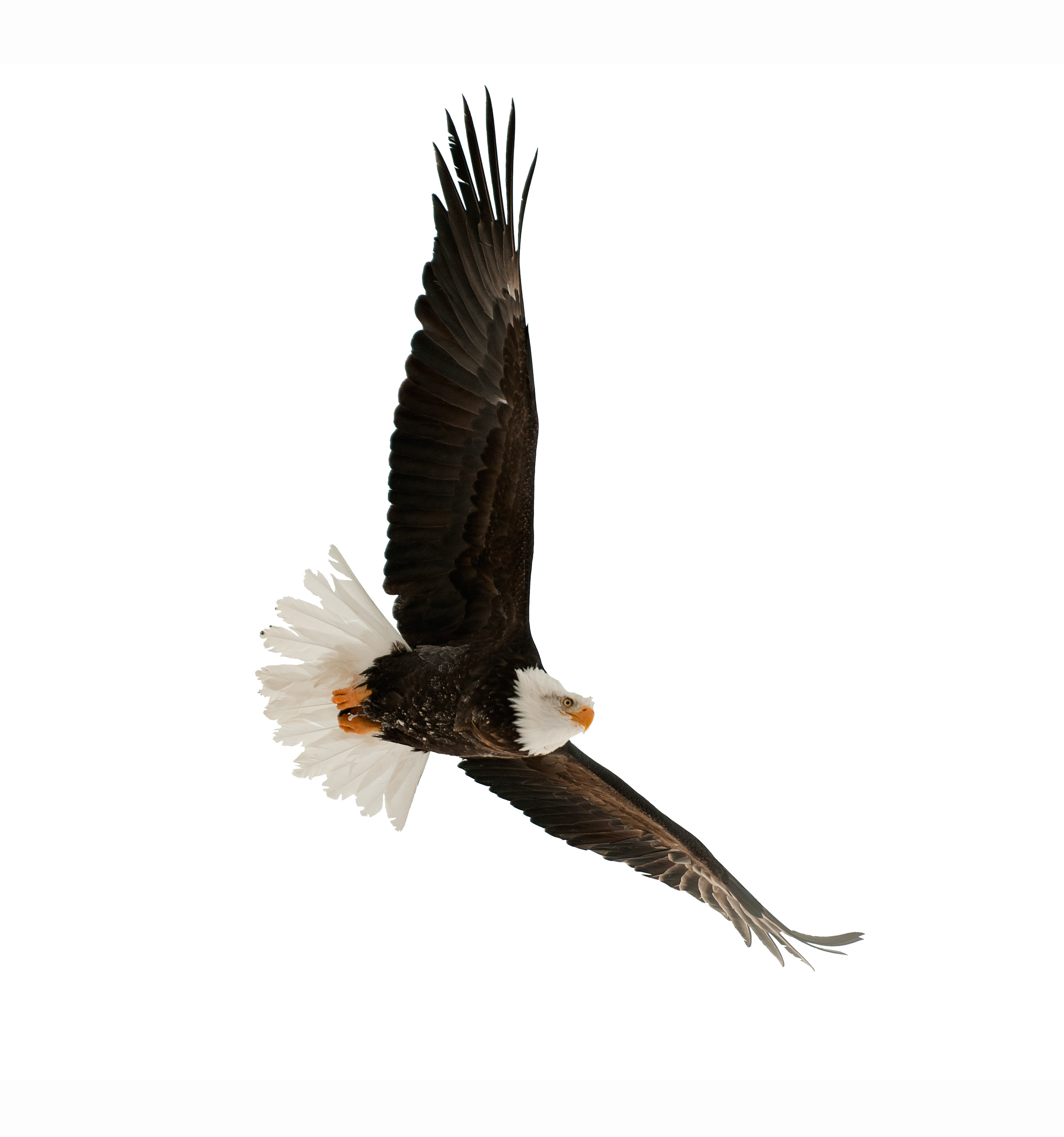 eagle - canstockphoto8120543